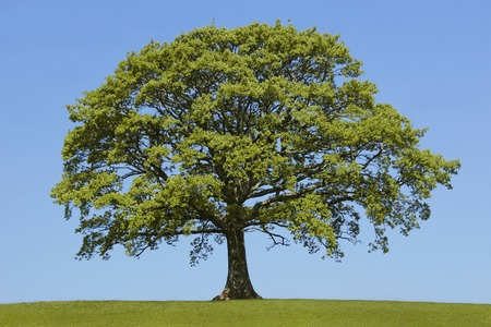 Oak tree in leaf in a field in spring,  standing alone on the horizon.  Set against a clear blue sky. Stock Photo