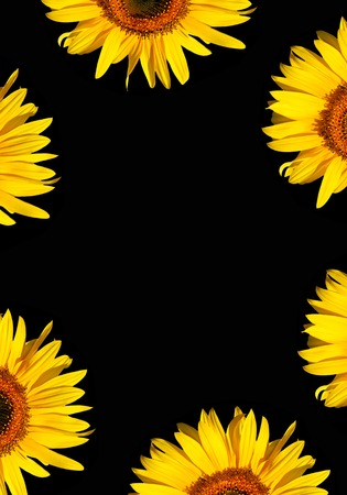 Sunflower flowerhead sections in full bloom creating a border, against a black background. Stock Photo - 1577033