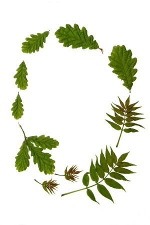 forthcoming: Oval arrangement of fresh oak and ash leaves against a white background. The old rhyme for forthcoming summer weather being
