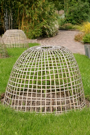 deterrent: Woven wooden plant protection frame, conical shaped,  standing over a vegetable bed of  sweetcorn plants. Stock Photo