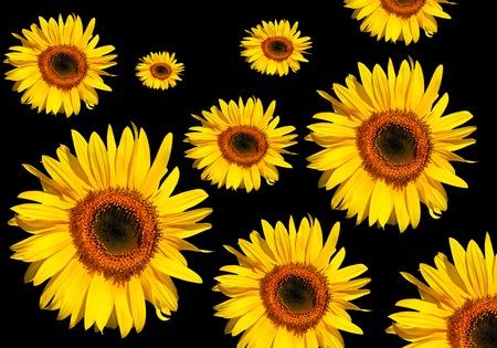 Sunflower flowerheads in full bloom against a black background. Stock Photo - 1629572