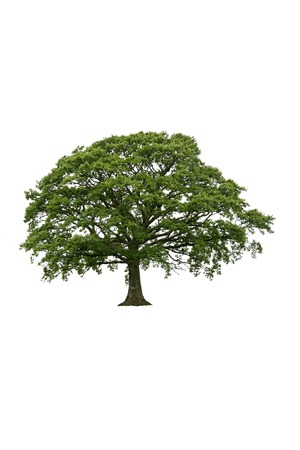 Oak tree with new leaf growth in early spring, against a white background. photo