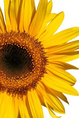 Sunflower section in full bloom over white. Stock Photo - 1639894