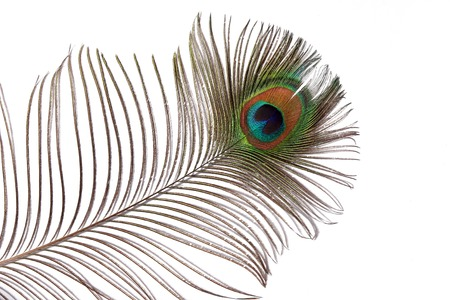 feathered: One peacock feather against a white background.