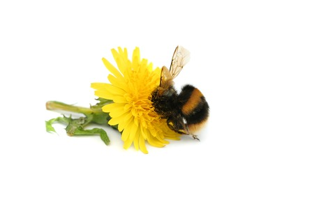 gorging: Bumble bee with its head buried in a dandelion flower, covered in pollen, against a white background. Stock Photo