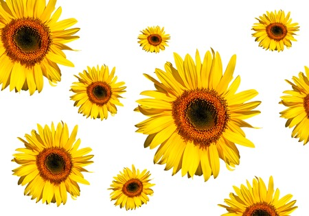 Sunflowers in full bloom, against a white background. photo