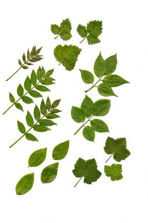 rowan: Arrangement of fresh soft fruit leaves, top leaves being raspberry, middle left, rowan, middle right, elderberry, bottom left blueberry, bottom right, gooseberry. Over white.