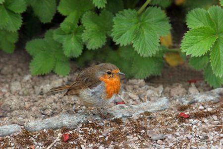 Robin standing on the earth with strawberry leaves to the rear. Stock Photo - 1778622