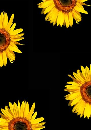 Four sections of sunflower flowerheads in full bloom against a black background. Stock Photo - 1778646