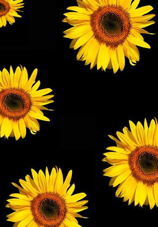 Five sections of sunflower flowerheads in full bloom against a black background. Stock Photo - 1849663