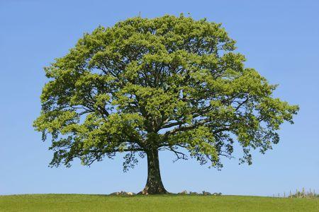 roble arbol: Ovejas que se sientan en la hierba, tomando el abrigo del sol, debajo de un �rbol del roble en resorte. Con el sistema contra un cielo azul claro.