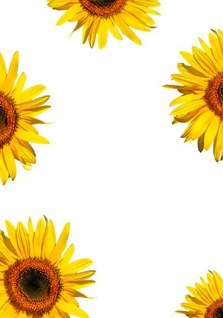 Sunflower flowerhead sections in full bloom creating a border, against a white background. Stock Photo - 1898158