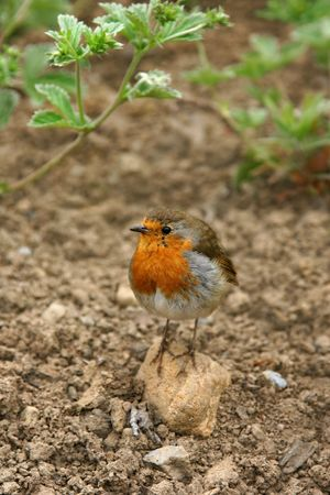 Robin standing on a small rock on the earth with strawberry leaves to the rear. Stock Photo - 1935971