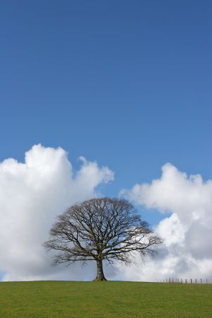 Oak tree in a field in winter devoid of leaves with grass to the foreground and a small fence to the side set against a blue sky with cumulus clouds. Stock Photo - 1935967
