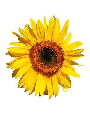 Sunflower flowerhead in full bloom against a white background. Stock Photo - 1935965