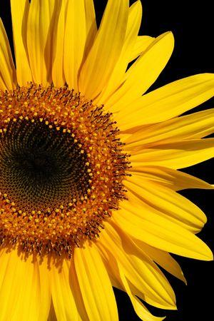 Sunflower section in full bloom over black. Stock Photo - 1979549