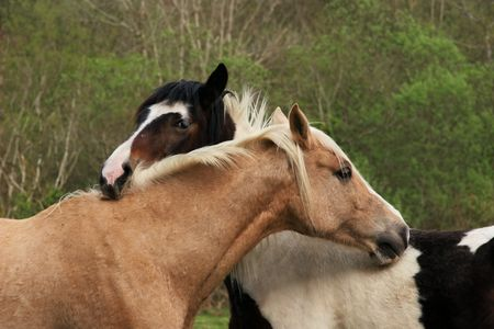 gentleness: Upper bodies of two horses, one brown and one black and white,  with their heads resting on each other in a gesture of love and friendship. Stock Photo