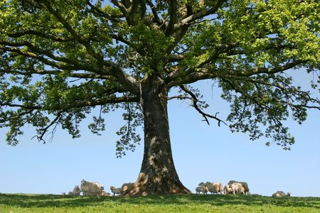 shade: Spring lambs and sheep sheltering in the shade under the branches of an oak tree.