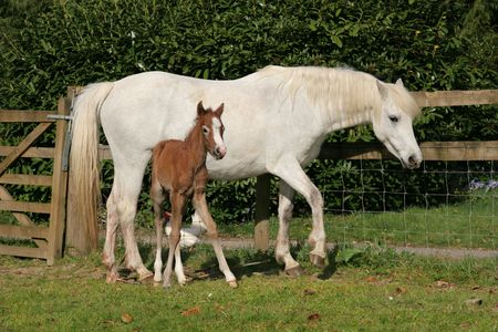 White horse with a new born brown foal standing next to her in a field in spring, with a wooden and wire fence to the rear. (Welsh Section D ponies) photo