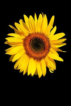 Sunflower flowerhead in full bloom against a black background. Stock Photo - 2039130