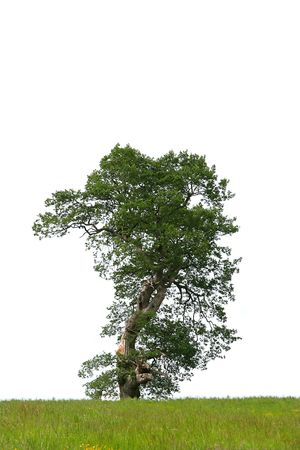 Oak tree in summer with part of the tree missing due to a lightening strike, with grass to the foreground and set against a white background. Stock Photo - 2075695