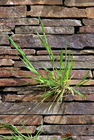 clinging: Grass growing between the stones of a dry stone wall.