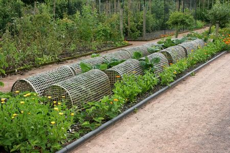 companion: Woven wooden plant protectors covering organic cabbages in a vegetable bed in a garden, with marigolds to the sides acting as companion plants to deter pests. Fruit bushes to the rear.