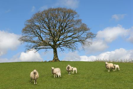 Oak tree in spring, with sheep and lambs grazing in a field in the foreground and a blue sky with altocumulus clouds to the rear. photo
