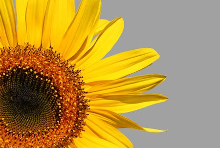 golden section: Section of a sunflower in full flower over grey.