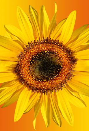 Sunflower isolated on a gradient yellow and orange background. Stock Photo - 2106321