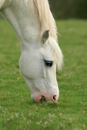 munching: Head and neck of a white horse eating grass.
