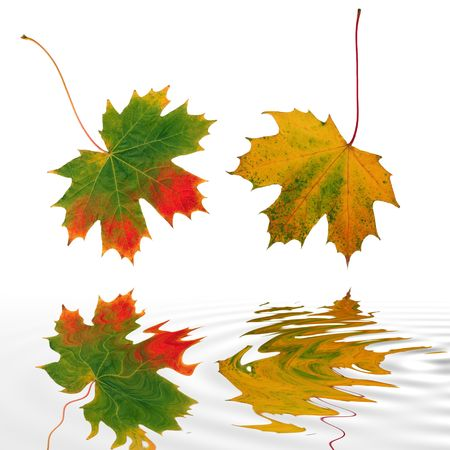 Abstract of two maple leaves with the colors of Autumn reflected over rippled water. Set against a white background. Stock Photo - 2338479