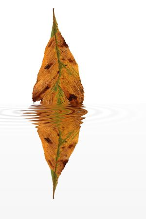 water chestnut: Abstract of a dried horse chestnut leaf in fall colors with water ripple reflection, against a white background. Stock Photo