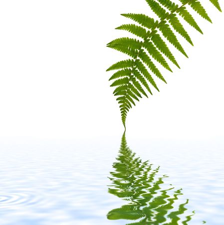branching: One green fern leaf with reflection in water against a white background.