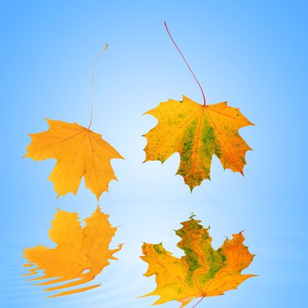 Abstract of two gold, red and green maple leaves in autumn, reflected over water and set against a blue background with white central glow. Stock Photo - 2453535