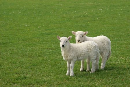 Two white lambs standing together in a field in spring. photo