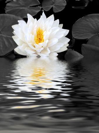 stami: Abstract riflessione di un loto giglio bianco con stami gialli nel pieno fiore in un stagno in estate. (Gladstoniana genere). Desaturated sfondo.