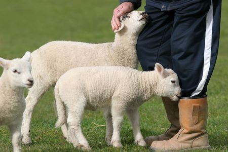 stroked: Spring lambs gathered next to the lower body of a farmer with one lamb trying to eat the farmers boot and the other being stroked by the hand of the farmer. Third lamb standing nearby is out of focus.
