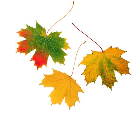 three leaf: Abstract of three maple leaf leaves in the colors of fall, set against a white background. Stock Photo