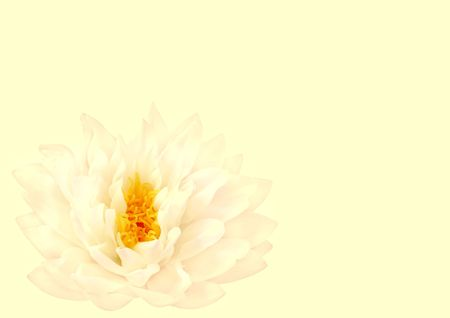 stami: Loto bianco crema acqua giglio con stami gialli in pieno fiore. (Gladstoniana genere.) Isolati pi� di giallo pastello.