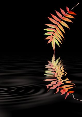 european rowan: Abstract rowan leaf in Autumn with rippled reflection, against a black background. (Sorbus Embley, known for its flaming scarlet color in Autumn.)