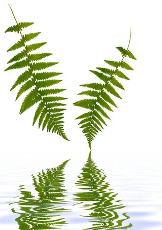 Two fern leaves with reflection in water against a white background. photo