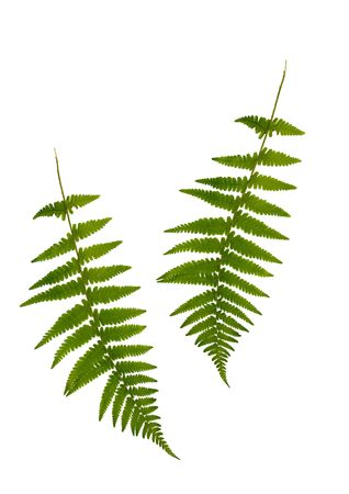 Two green fern leaves isolated over white. photo