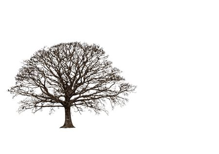 leafless: Abstract of an oak tree in winter, set against a white background.