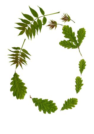 forthcoming: Oval arrangement of fresh oak and rowan ash leaves against a white background. The old rhyme for forthcoming summer weather being  Stock Photo