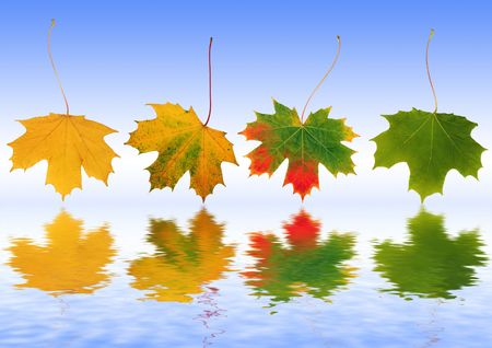 Abstract of a line of maple leaves with the colors progressing from green, red to yellow, the colors of Autumn and reflected over rippled water. Set against a sky blue background. Stock Photo - 2807962