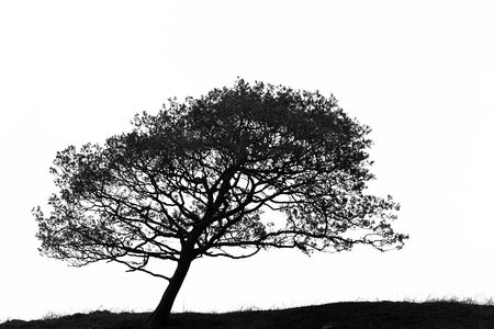 Leaning hawthorn tree, in silhouette, caused by wind, set against a white background. In monochrome.
