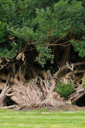 particularly: Old yew tree with twisted and gnarled roots with grass to the foreground. Yew trees are often planted as a form of protection particularly in churchyards. Stock Photo