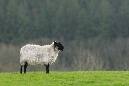 standing alone: Female sheep standing alone on grass. Stock Photo