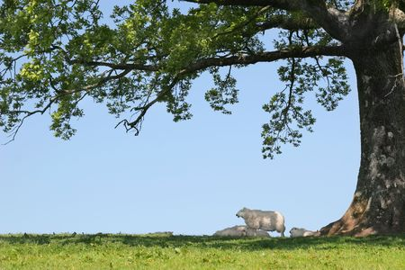 sheltering: Spring lambs and sheep sheltering in the shade under the branches of an oak tree with a blue sky to the rear.